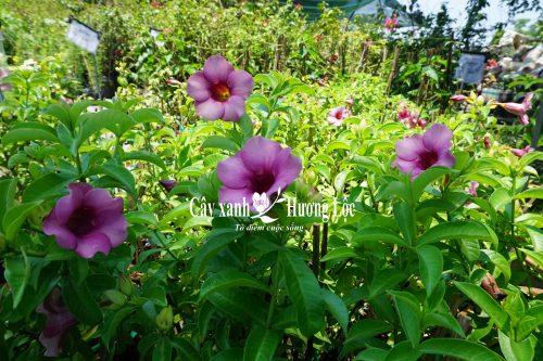 Cây hoa cảnh quan